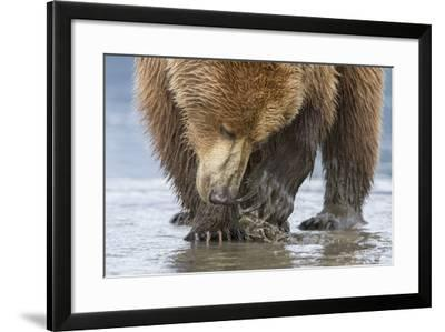 A Grizzly Bear, Ursus Arctos Horribilis, Opening a Clam with its Claws-Barrett Hedges-Framed Photographic Print