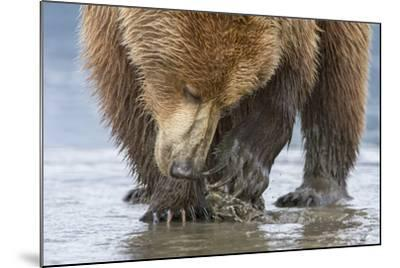 A Grizzly Bear, Ursus Arctos Horribilis, Opening a Clam with its Claws-Barrett Hedges-Mounted Photographic Print