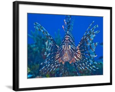 Close Up Portrait of a Lionfish-Jim Abernethy-Framed Photographic Print