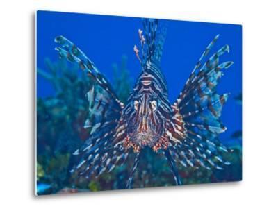 Close Up Portrait of a Lionfish-Jim Abernethy-Metal Print