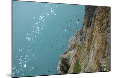 Little Auks Fly by Basalt Columns on Rubini Rock, Hooker Island-Andy Mann-Mounted Photographic Print