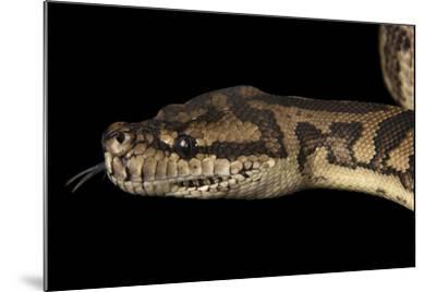 A Coastal Carpet Python, Morelia Spilota Mcdowelli, at the Wild Life Sydney Zoo-Joel Sartore-Mounted Photographic Print