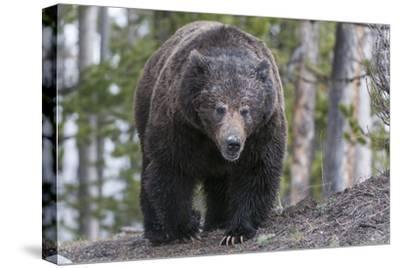A Grizzly Bear, Ursus Arctos Horribilis, Walks on a Trail-Barrett Hedges-Stretched Canvas Print