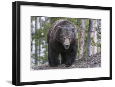 A Grizzly Bear, Ursus Arctos Horribilis, Walks on a Trail-Barrett Hedges-Framed Photographic Print