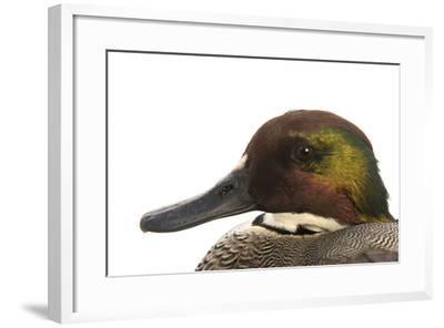A Falcated Duck, Anas Falcata, at the Palm Beach Zoo-Joel Sartore-Framed Photographic Print