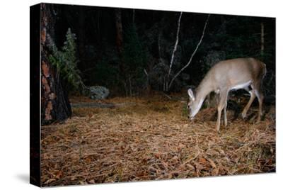 A White-Tailed Deer Forages in the Forest at Night-Michael Forsberg-Stretched Canvas Print
