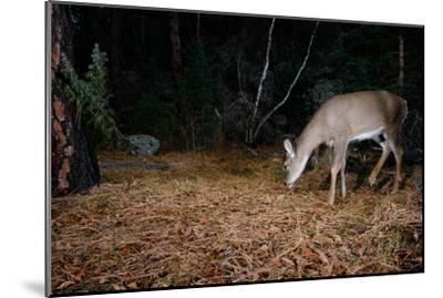 A White-Tailed Deer Forages in the Forest at Night-Michael Forsberg-Mounted Photographic Print