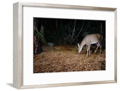 A White-Tailed Deer Forages in the Forest at Night-Michael Forsberg-Framed Photographic Print