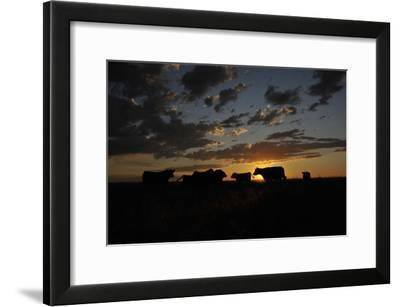 Cattle in a Pasture are Silhouetted by the Sunrise-Michael Forsberg-Framed Photographic Print