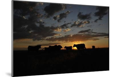 Cattle in a Pasture are Silhouetted by the Sunrise-Michael Forsberg-Mounted Photographic Print