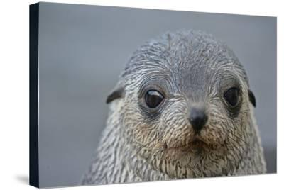 Close Up Portrait of a Southern Fur Seal Pup-Kike Calvo-Stretched Canvas Print