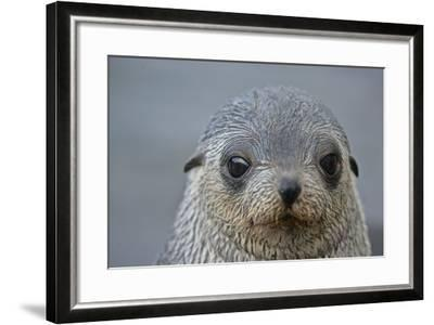 Close Up Portrait of a Southern Fur Seal Pup-Kike Calvo-Framed Photographic Print