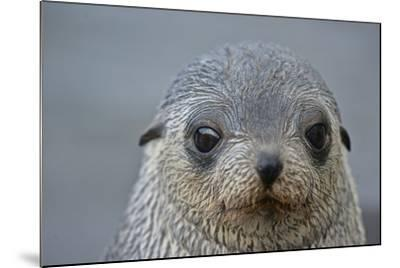 Close Up Portrait of a Southern Fur Seal Pup-Kike Calvo-Mounted Photographic Print