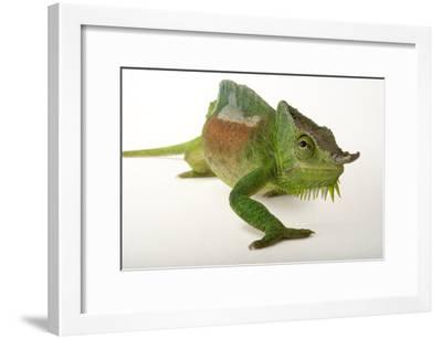 A Four-Horned Chameleon, Chamaeleo Quadricornis, at the Fort Worth Zoo-Joel Sartore-Framed Photographic Print