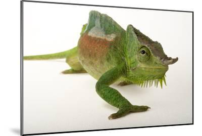 A Four-Horned Chameleon, Chamaeleo Quadricornis, at the Fort Worth Zoo-Joel Sartore-Mounted Photographic Print