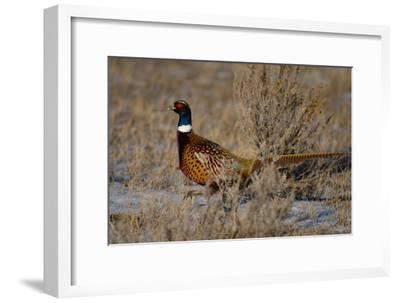 Side Portrait of Male Ring Neck Pheasant-Michael Forsberg-Framed Photographic Print