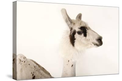 A Llama, Lama Glama, after a Recent Summer Haircut at the Lincoln Children's Zoo-Joel Sartore-Stretched Canvas Print
