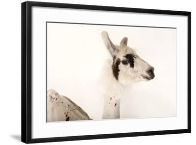 A Llama, Lama Glama, after a Recent Summer Haircut at the Lincoln Children's Zoo-Joel Sartore-Framed Photographic Print