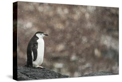A Chinstrap Penguin, Pygoscelis Antarctica, in a Light Snow Shower-Kent Kobersteen-Stretched Canvas Print