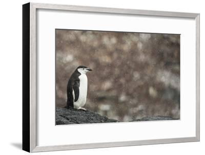 A Chinstrap Penguin, Pygoscelis Antarctica, in a Light Snow Shower-Kent Kobersteen-Framed Photographic Print