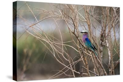 A Lilac-Breasted Roller, Coracias Caudatus, Perching on a Tree Branch-Sergio Pitamitz-Stretched Canvas Print