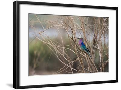 A Lilac-Breasted Roller, Coracias Caudatus, Perching on a Tree Branch-Sergio Pitamitz-Framed Photographic Print