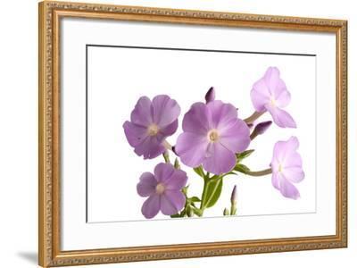 A Meadow Phlox, Phlox Maculata-Joel Sartore-Framed Photographic Print