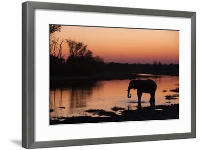An African Elephant, Loxodonta Africana, Drinking in the Khwai River at Sunset-Sergio Pitamitz-Framed Photographic Print