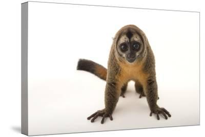 A Nancy Ma's Night Monkey, Aotus Nancymaae, at the Dallas World Aquarium-Joel Sartore-Stretched Canvas Print