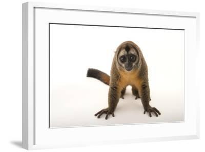 A Nancy Ma's Night Monkey, Aotus Nancymaae, at the Dallas World Aquarium-Joel Sartore-Framed Photographic Print