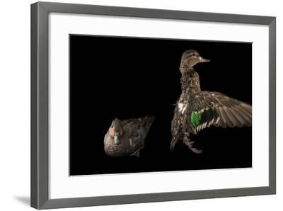 A Pair of Common Teal, Anas Crecca, at the National Mississippi River Museum and Aquarium-Joel Sartore-Framed Photographic Print