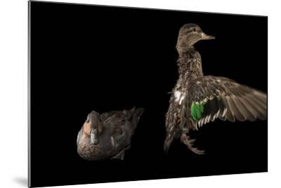 A Pair of Common Teal, Anas Crecca, at the National Mississippi River Museum and Aquarium-Joel Sartore-Mounted Photographic Print