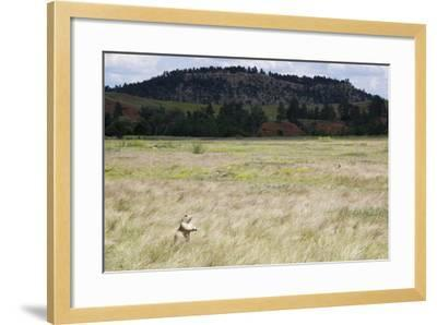 A Prairie Dog Stands Up in a Landscape of Prairie Grass-Stacy Gold-Framed Photographic Print