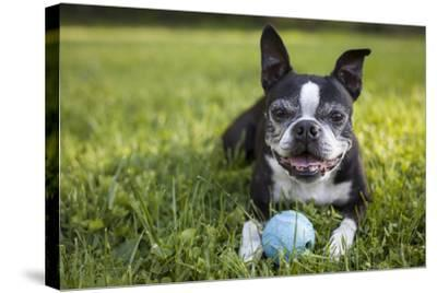 A Senior Boston Terrier Plays with a Ball in Her Backyard-Hannele Lahti-Stretched Canvas Print