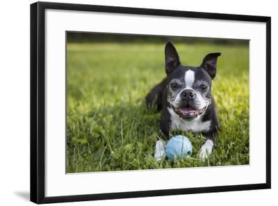 A Senior Boston Terrier Plays with a Ball in Her Backyard-Hannele Lahti-Framed Photographic Print