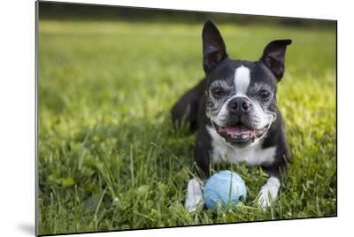 A Senior Boston Terrier Plays with a Ball in Her Backyard-Hannele Lahti-Mounted Photographic Print