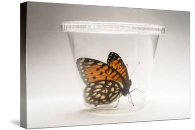 A Regal Fritillary, Speyeria Idalia, in a Container at the Minnesota Zoo-Joel Sartore-Stretched Canvas Print