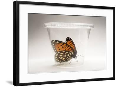 A Regal Fritillary, Speyeria Idalia, in a Container at the Minnesota Zoo-Joel Sartore-Framed Photographic Print
