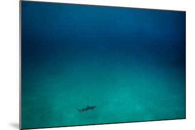 Cocos Island, Costa Rica: A White Tip Reef Shark Cruises the Sandy Bottom-Ben Horton-Mounted Photographic Print