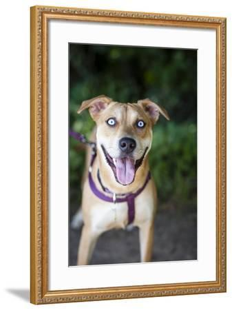 Portrait of a Pet Husky/Labrador Mixed Breed Dog, Looking at the Camera-Hannele Lahti-Framed Photographic Print