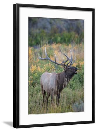 Side Portrait of an Elk Calling Out-Tom Murphy-Framed Photographic Print