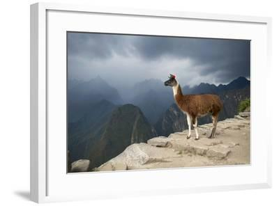 A Llama Stands on a Terrace High in the Andes-Jim Richardson-Framed Photographic Print