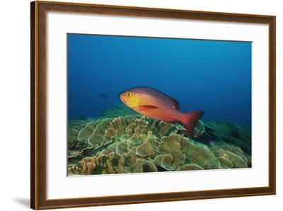 A Red Snapper Cruises over a Pristine Fringing Coral Reef Off Millennium Atoll-Mauricio Handler-Framed Photographic Print