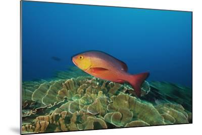 A Red Snapper Cruises over a Pristine Fringing Coral Reef Off Millennium Atoll-Mauricio Handler-Mounted Photographic Print