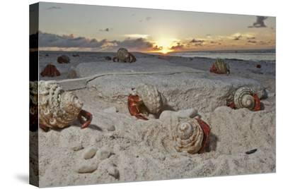 Hermit Crabs Crawl on a Sandy Beach on the Deserted Starbuck Island in the Southern Line Islands-Mauricio Handler-Stretched Canvas Print