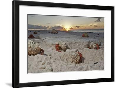 Hermit Crabs Crawl on a Sandy Beach on the Deserted Starbuck Island in the Southern Line Islands-Mauricio Handler-Framed Photographic Print