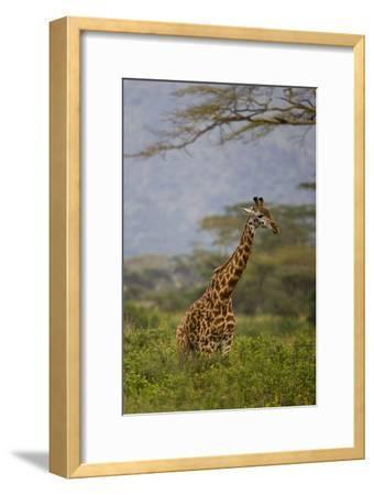 Ngorongoro Crater, Tanzania, Africa: A Giraffe under an Acacia Tree in Ngorongoro Crater-Ben Horton-Framed Photographic Print