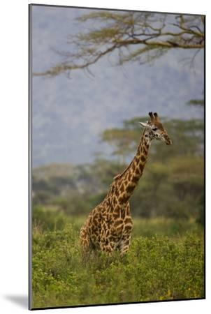 Ngorongoro Crater, Tanzania, Africa: A Giraffe under an Acacia Tree in Ngorongoro Crater-Ben Horton-Mounted Photographic Print