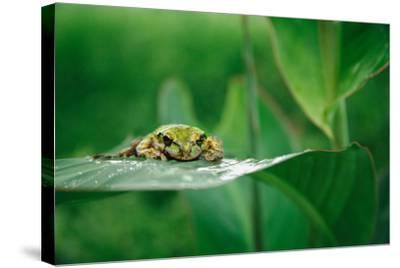 Nosara, Costa Rica: A Frog Sits Out a Rainstorm on a Broad Leafed Plant-Ben Horton-Stretched Canvas Print