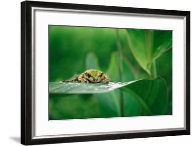 Nosara, Costa Rica: A Frog Sits Out a Rainstorm on a Broad Leafed Plant-Ben Horton-Framed Photographic Print